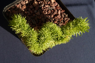Petrosedum rupestre et  reflexum = Sedum rupestre - orpins 8934427378_19de6ddc08_n