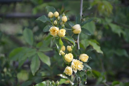 Rosa banksiae 'Lutea Plena' 8708765894_eb7dda57eb