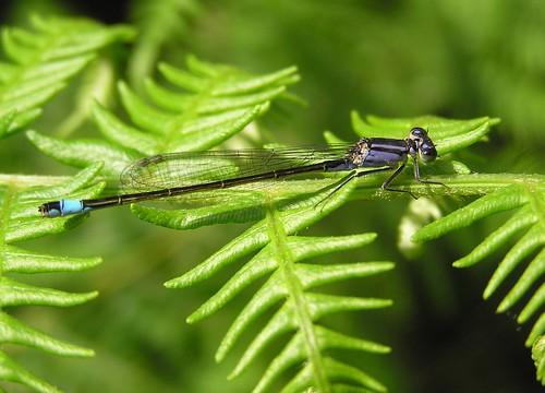 Ischnura elegans - Blue-tailed Damselfly - Agrion élégant - 29/06/12