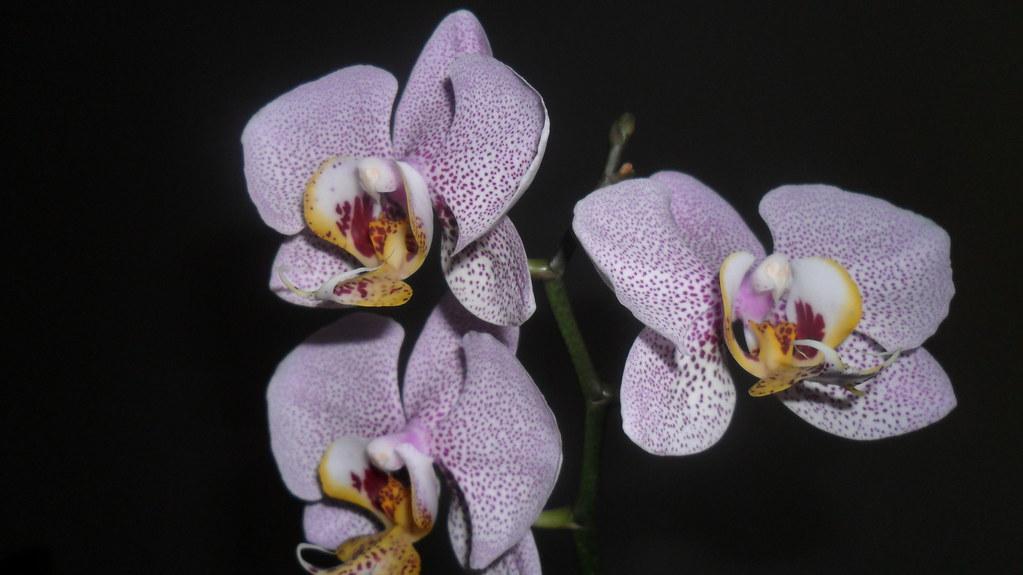 Phalaenopsis evolutii forumul florilor - Pagina 13 7526436488_93f867099f_b