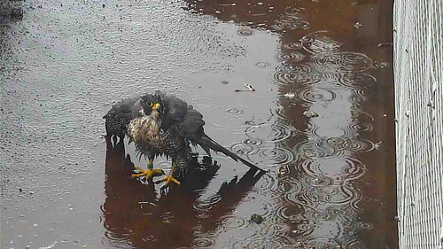 Day 97 - See? Peregrines do bathe!
