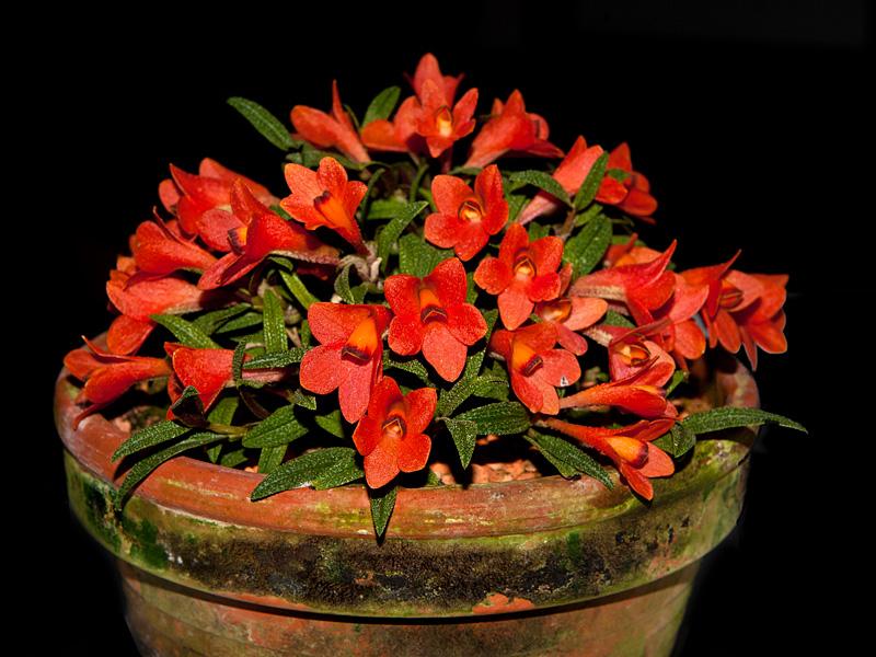 Dendrobium  cuthbertsonii 7832914476_ed26fe3fbc_o