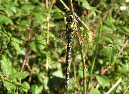 Aeshna cyanea - Æschne bleue (♂) - Southern Hawker - 08/09/12