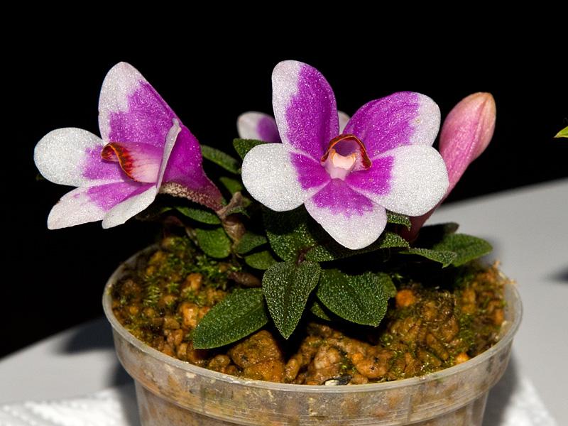 Dendrobium  cuthbertsonii 7832913102_a7514135c6_o