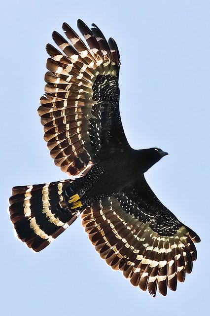 Falconiformes. Família  Acciptridae - Subfamília Buteonidade- Gaviões de penacho. genêro SPIZAETUS 8072556155_044b7960c5_z