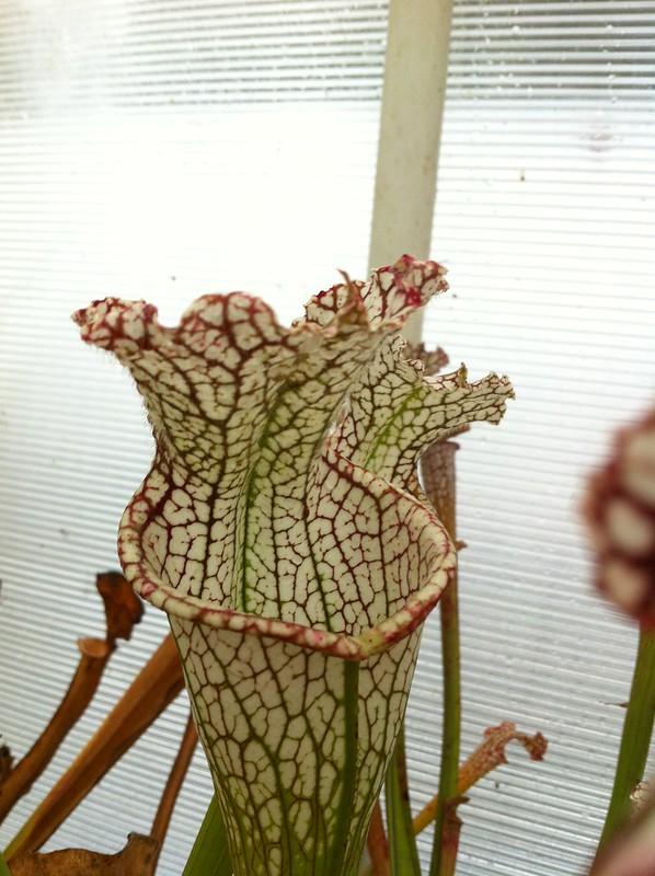 Les peut être dernière photos de leucophylla de 2012 8114668747_1db4c87ea1_c