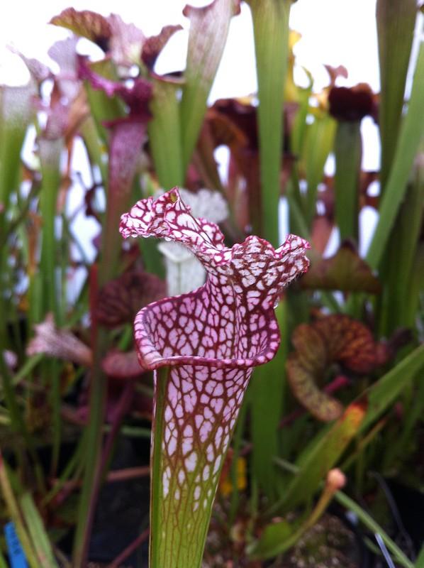 Les peut être dernière photos de leucophylla de 2012 8114709382_d16e9e3178_c