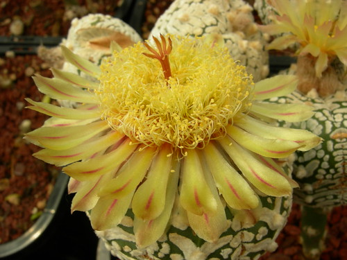 So you're buds are now flowers - post them here ;D - Page 3 8229657010_1779e5fa76