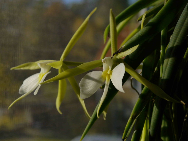 Epidendrum parkinsonianum 8181725810_fe5340cc36_z