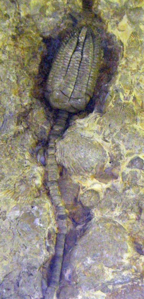 Encrinus liliiformis 8194734141_f9b11d53e1_o