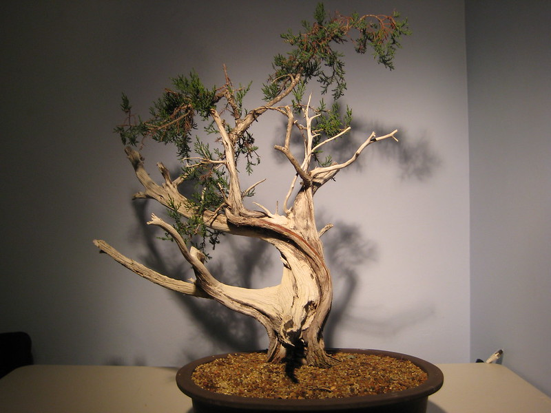 Ashe Juniper (Vito Megna tree) design help needed 8278362967_f382373598_c