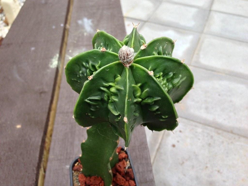 Astrophytum CV Fukuryu - Page 2 8282860973_d661720634_b