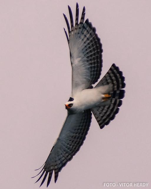 Falconiformes. Família  Acciptridae - Subfamília Buteonidade- Gaviões de penacho. genêro SPIZAETUS 8370094223_06f5e4f9c8_z