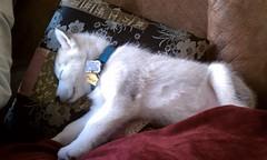[Scrapbook] Link the Siberian Husky - Page 2 8525698452_a827632a53_m