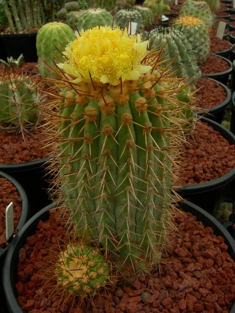 Copiapoa in cultivation 8541663576_3108964321_z