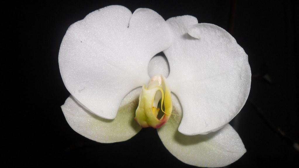 Reinflorire phalaenopsis forumul-florilor - Pagina 5 8634216864_d9c8f786c6_b