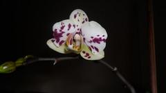 Reinflorire phalaenopsis forumul-florilor - Pagina 4 8618576045_2e45ef89b4_m