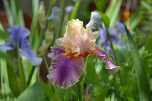 n°29D - Iris 'Colette Thurillet'
