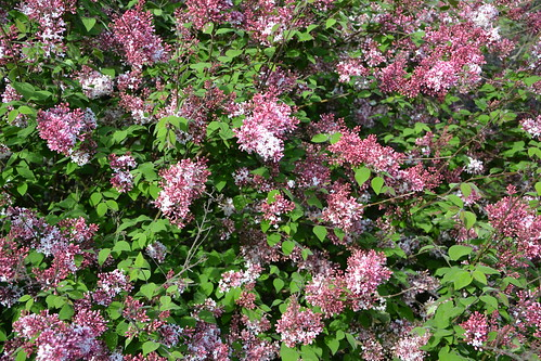 Syringa josikaea - lilas de Hongrie 8708603904_38712a1560