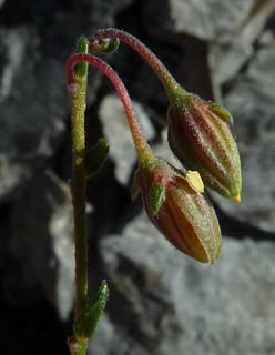 Helianthemum nummularium - hélianthème à feuilles arrondies 10223475763_bfa9e5fe96_n