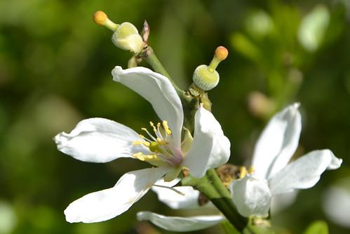 Citrus trifoliata (= Poncirus trifoliata) 8709045436_2704430ef5