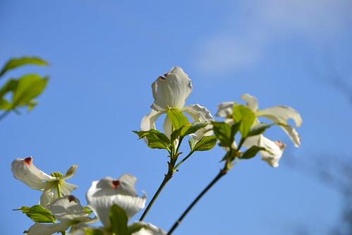 Cornus florida - cornouiller à fleurs  8707776288_a509e08d36