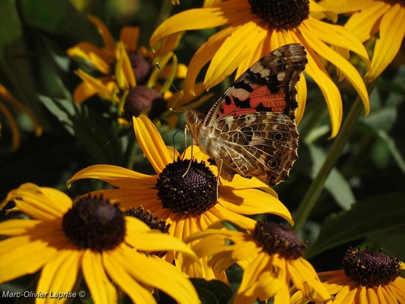 """À mon tour ! série de papillion """"belle dame"""" 7736826928_1120e0006a_b"""
