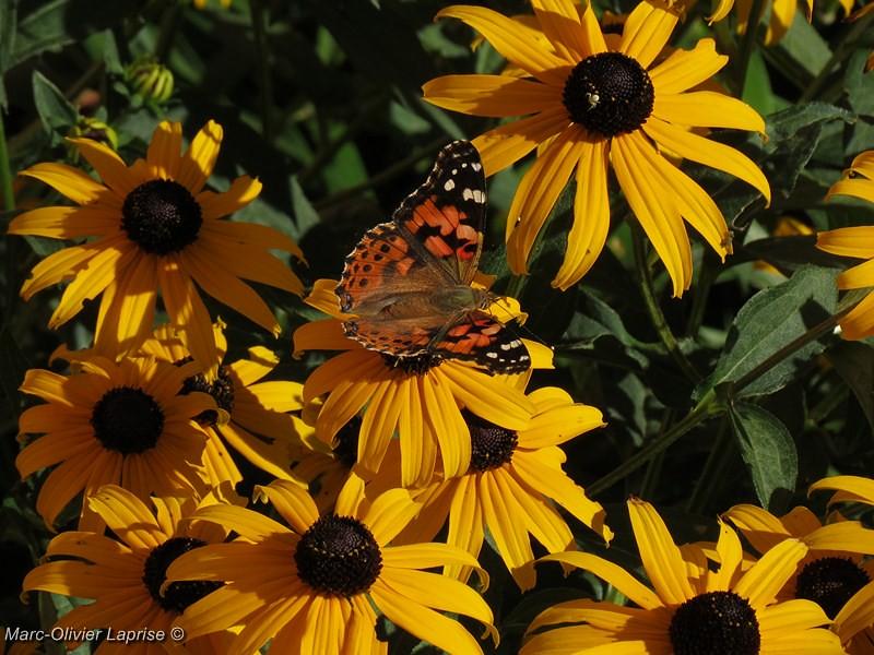 """À mon tour ! série de papillion """"belle dame"""" 7736826676_6c2ecb2189_b"""