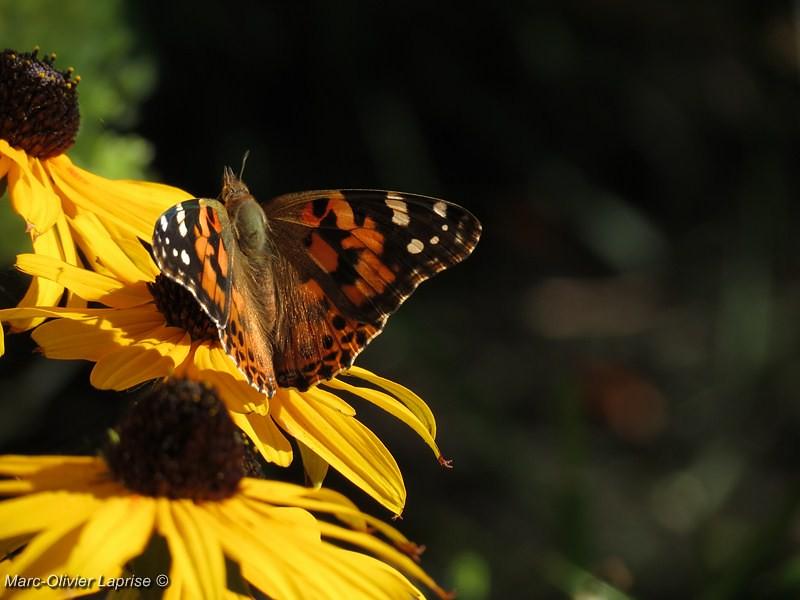 """À mon tour ! série de papillion """"belle dame"""" 7736825866_8fcbfb26f2_b"""