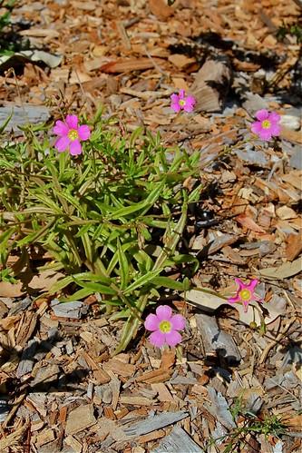 Calendrinia polyandra, Verticordia etheliana, Boronia crenulata, Lachenaultia biloba [devinette] 7991463825_f1c1cfcb9b