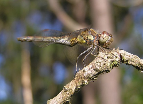 Sympetrum striolatum - Common Darter - Sympétrum strié (♀) - 07/09/12