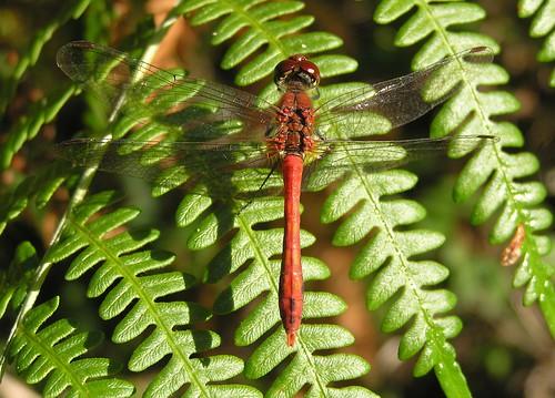 Sympetrum sanguineum -  Ruddy Darter - Sympétrum rouge-sang ou Sympètre rouge-sang (♂) -   07/09/12