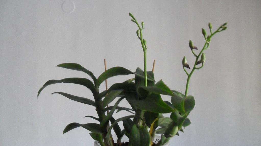 Orhideele lui Victor - Pagina 13 8115381106_9304bede4f_b