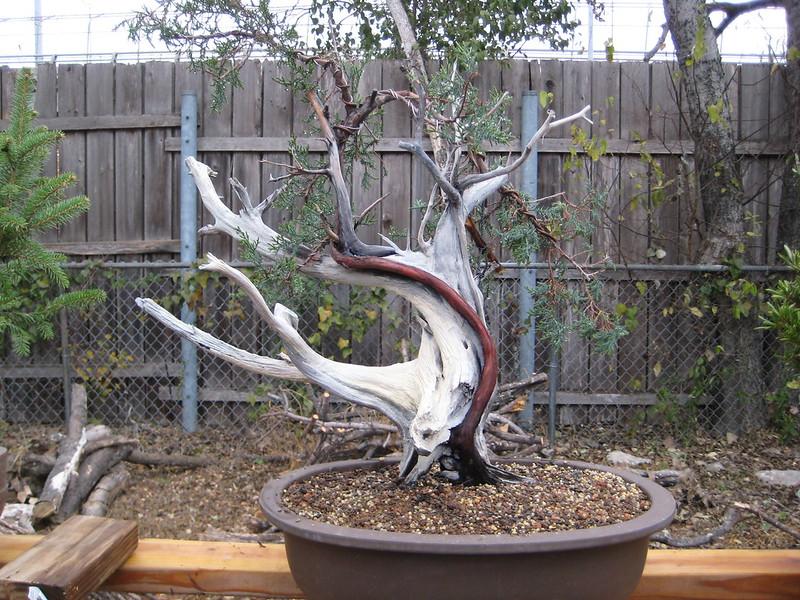 Ashe Juniper (Vito Megna tree) design help needed 8301038223_12c071e2bc_c