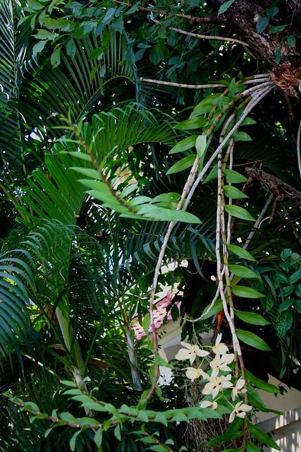 Dendrobium pulchellum 8396759943_c866029c4f_z