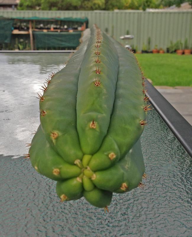 Sale - Lophophora Buttons a Crest and Trichos 8549448945_2eb8192c7a_c