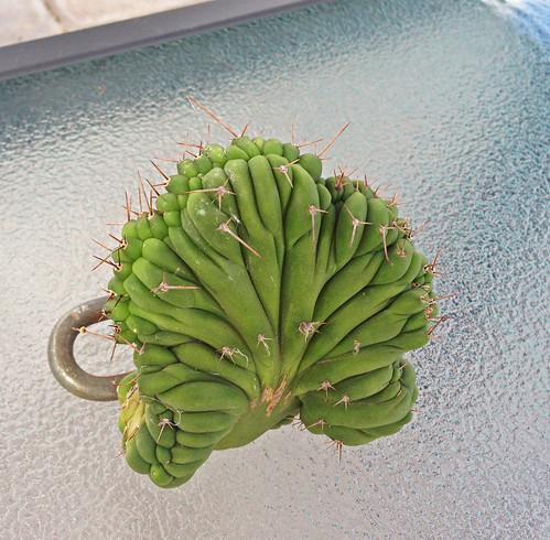 Sale - Lophophora Buttons a Crest and Trichos 8550547106_cd9acaf071