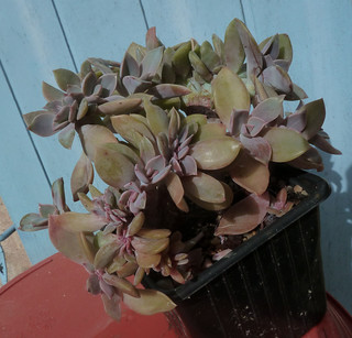 Graptoveria 'Fred Ives' 8642796260_34787229a0_n