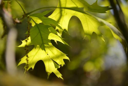 Quercus rubra, Quercus coccinea, Quercus palustris - chênes rouges américains 8706926273_7904f1e401