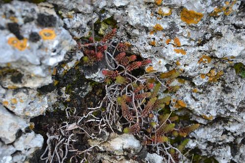 Sedum ochroleucum (= Petrosedum ochroleucum) 8709460818_b91cde2e06