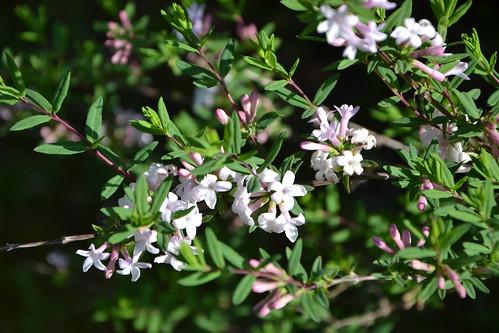 Lonicera rupicola var. syringantha (= L. syringantha) 8706701359_70ca6e02c5
