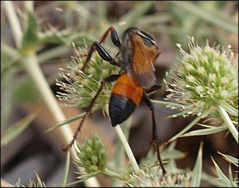 Bộ sưu tập côn trùng 2 - Page 6 Sphex%20flavipennis%208