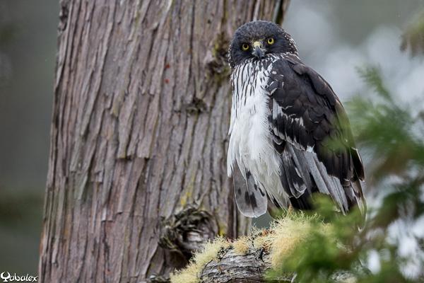 un oiseau à découvrir -ajonc- 6 janvier bravo Martine Yabalex_T3A5129