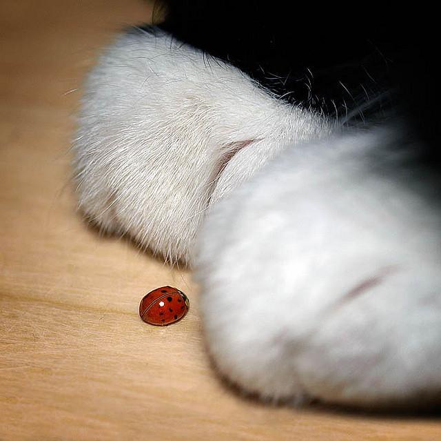 Gattilicious  =^.^= Animal-cat-ladybird-ladybug-paws-Favim.com-39656