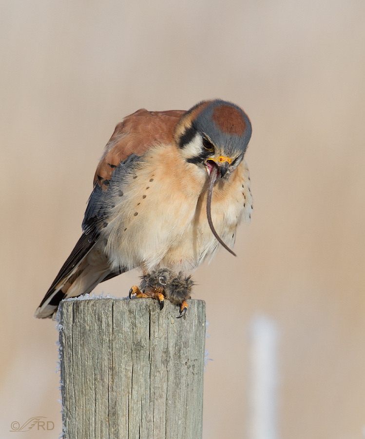 Falconiformes. sub Falconidae - sub fam Falconinae - gênero Falco - Página 3 American-kestrel-6052