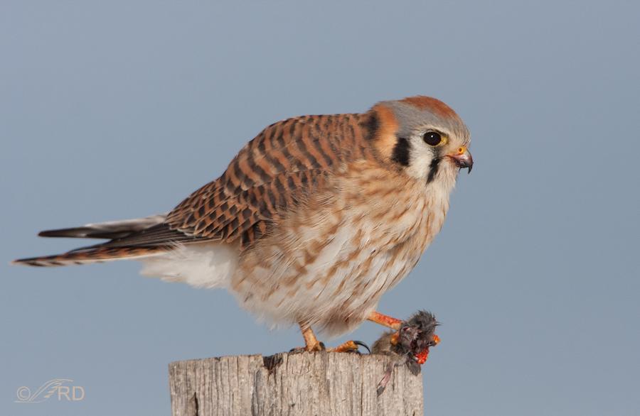 Falconiformes. sub Falconidae - sub fam Falconinae - gênero Falco - Página 3 American-kestrel-6493