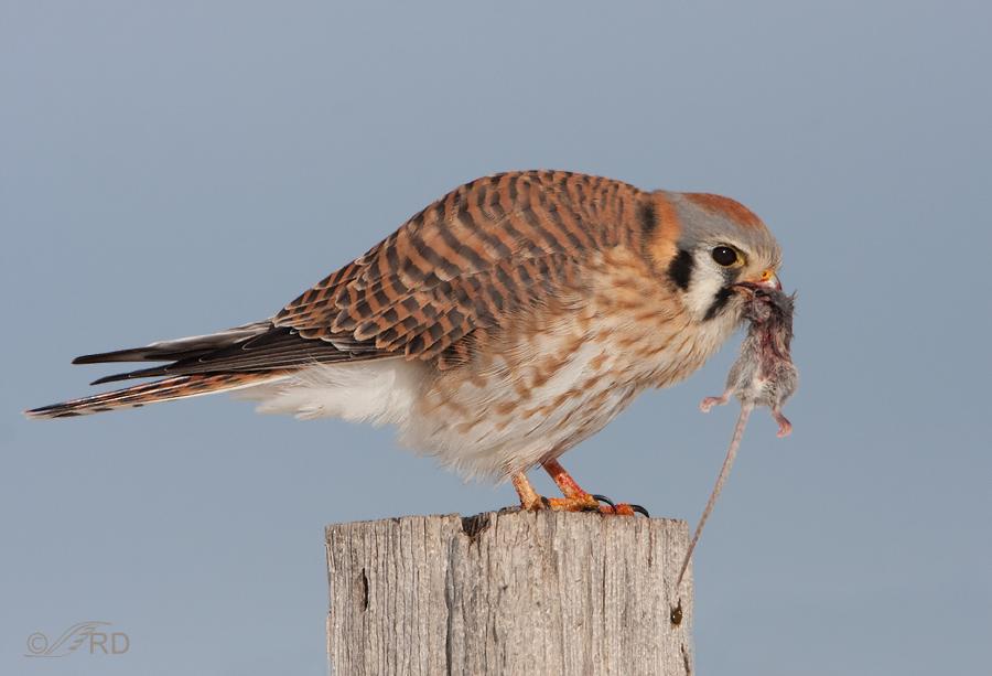 Falconiformes. sub Falconidae - sub fam Falconinae - gênero Falco - Página 3 American-kestrel-6507