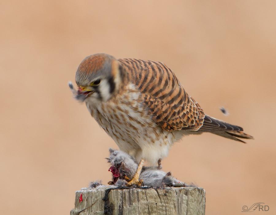 Falconiformes. sub Falconidae - sub fam Falconinae - gênero Falco - Página 3 American-kestrel-8648