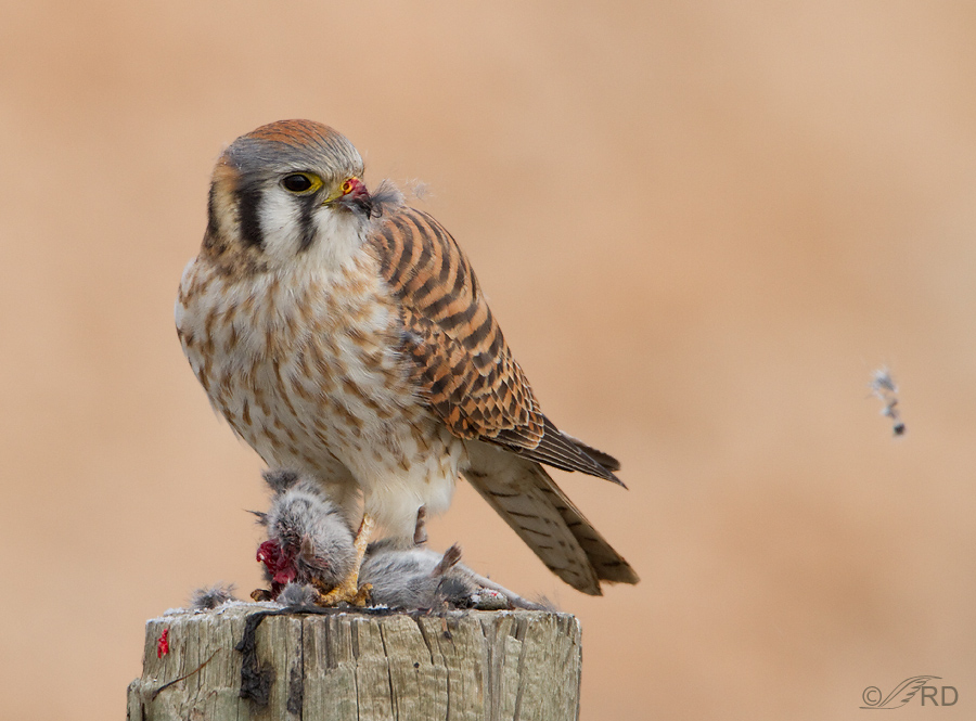 Falconiformes. sub Falconidae - sub fam Falconinae - gênero Falco - Página 3 American-kestrel-86551