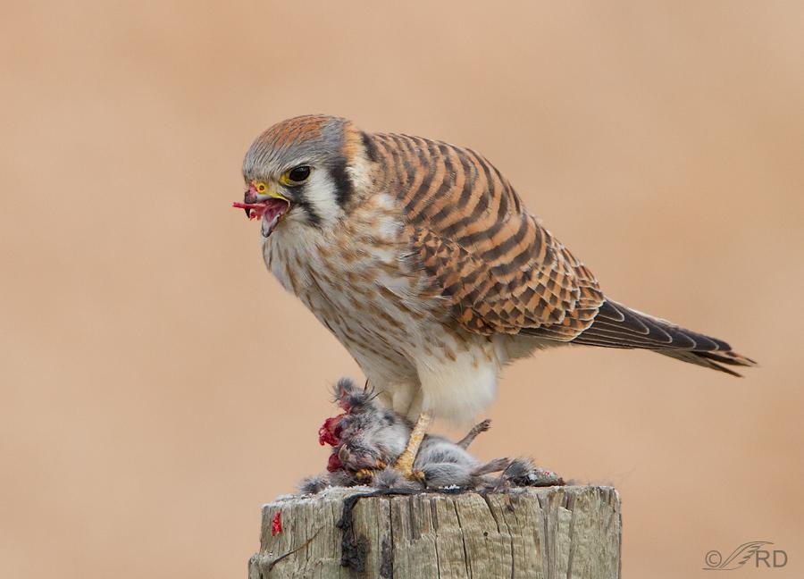 Falconiformes. sub Falconidae - sub fam Falconinae - gênero Falco - Página 3 American-kestrel-8706